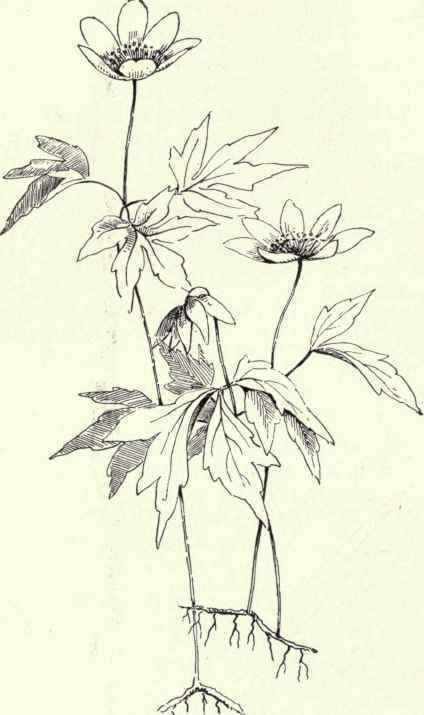 Wind Flower Wood Anemone Anemone quinquefolia 183