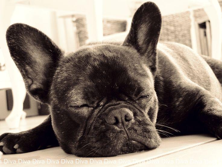 French Bulldog, dog, pupp, hund, cute, pet, nuttet, sweet, photograph, photo b/w.