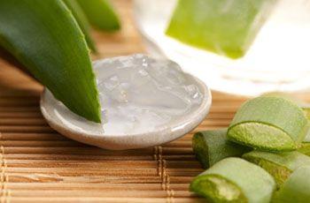 Целительное растение алоэ вера, известное также под названием столетник, используется с давних времен в лечебных целях. Благодаря огромному числу полезных свойств, растение находит широкое применение в наше время.