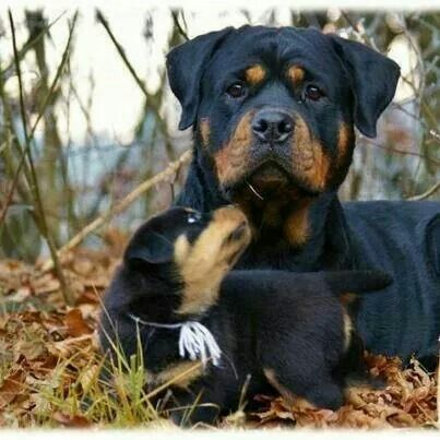 """Mama, did you bring treats?"" Rottweilers Facebook.com/sodoggonefunny"