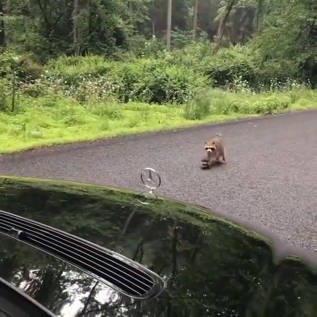 🔥 Mama Waschbär kommt zu ihrem Sohn von der Straße ziehen drag   – Tiere