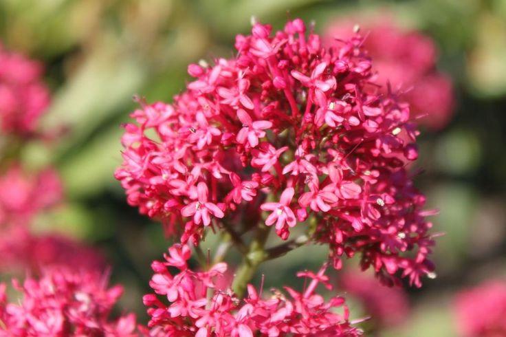 Rotblühende Spornblume 'Coccineus' - Centranthus ruber 'Coccineus'
