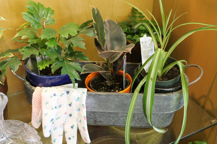 A Set of Three! Potted plants for that gardener wishing winter was not on it's way.
