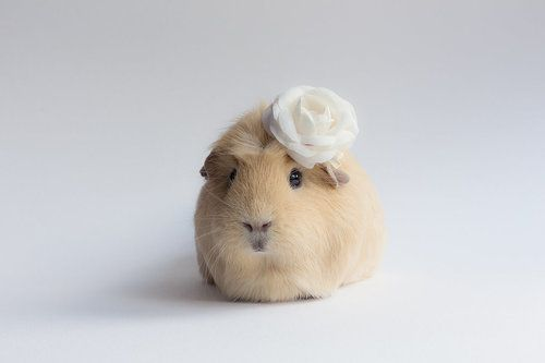 extremely cute guinea pig