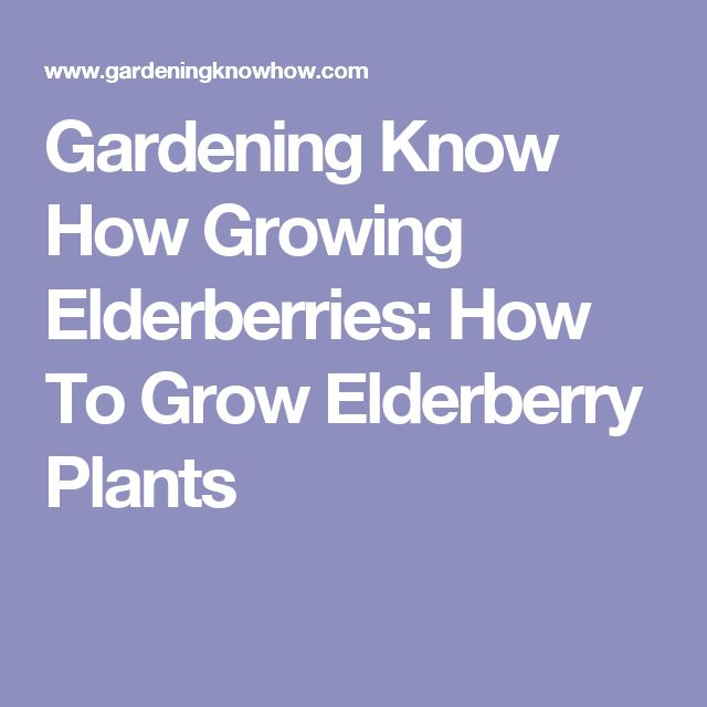 Gardening Know How Growing Elderberries: How To Grow Elderberry Plants