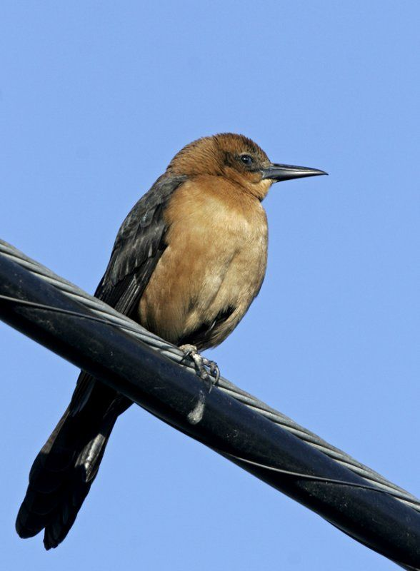 17 Best images about Grackles on Pinterest | Boats, The ...  17 Best images ...