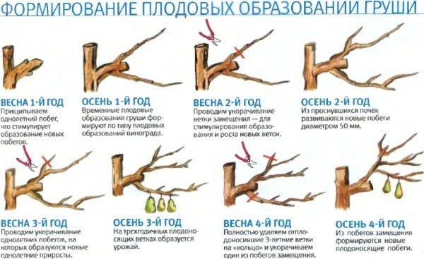 Выращивание груши. Обрезка посадка и уход за ней