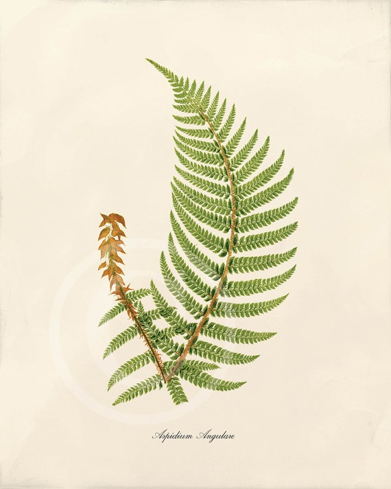Vintage fern drawing  ...