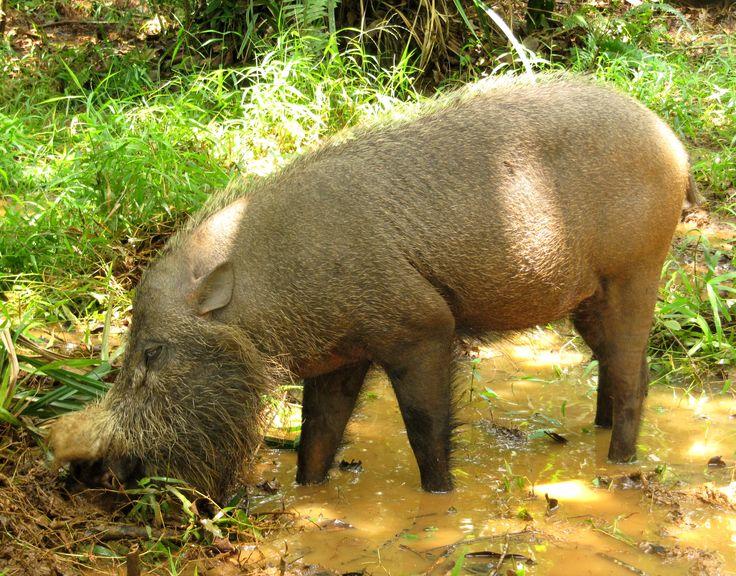 Cerdo barbudo en el PN de Bako, Borneo