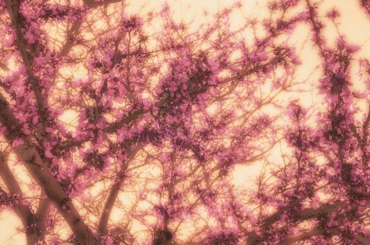 Full on Cherry Blossom