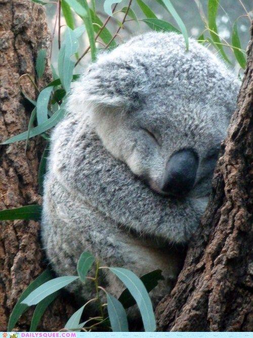 Koala naptime.