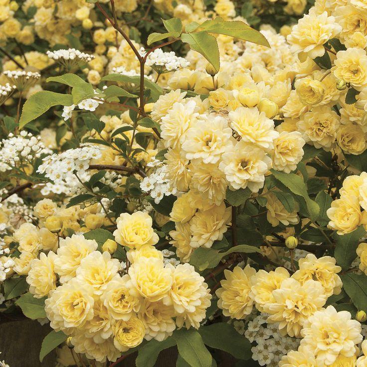 Rosa Lady Banks Yellow Climbing Rose Shrub Roses