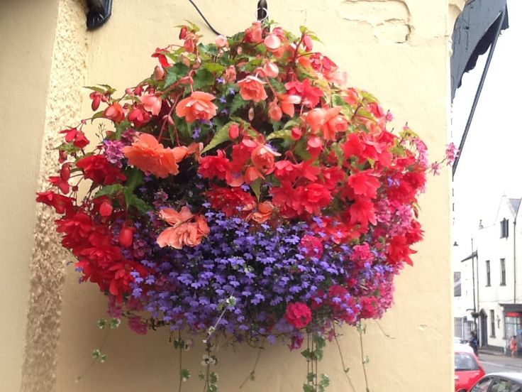 Beautiful summer baskets using a mass of flowers from trailing begonia, lobelia, geraniums, verbena, nepeta and fuchsia to delicate campanulas. Great for home, shop, restaurants, office and pubs.