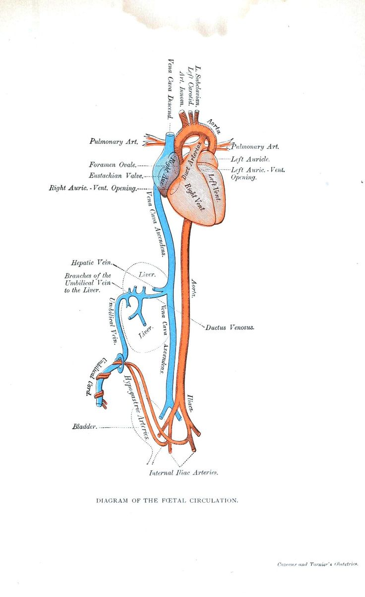 72 best Fetal Circulation images on Pinterest | Nursing schools ...