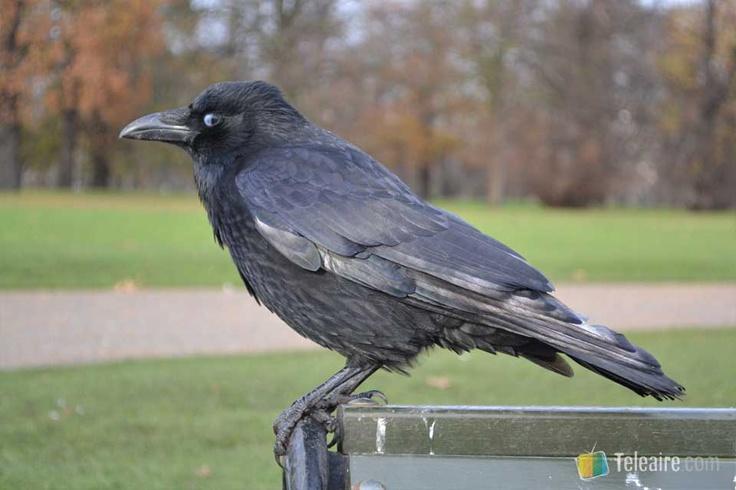 Aunque este cuervo es de #HydePark, se dice que si se mueren los de la #Torre de #Londres se cae la monarquía británica...