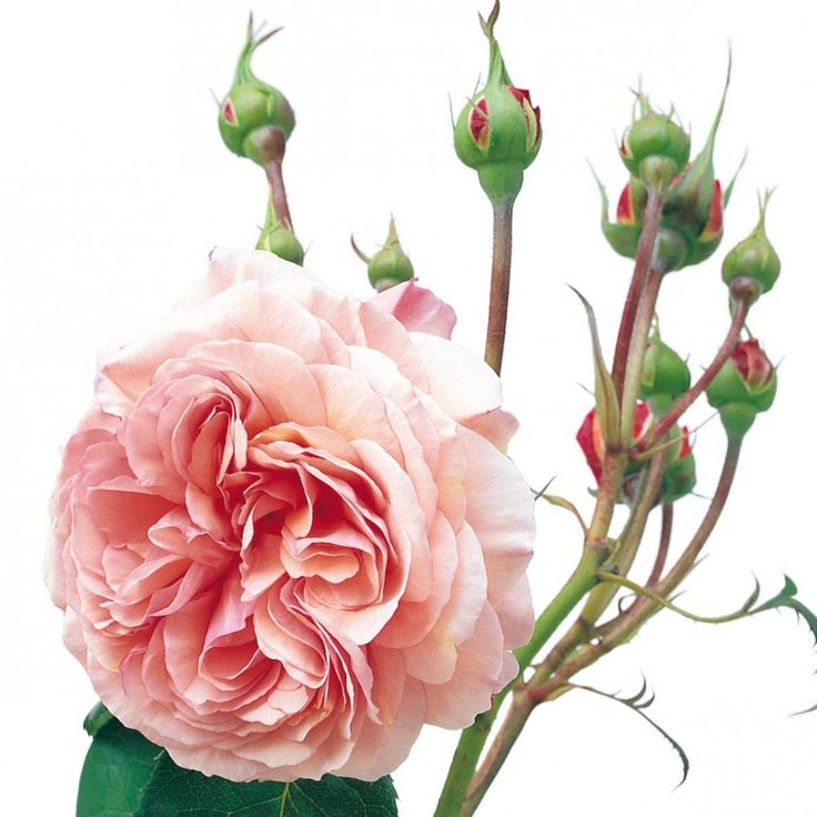 A Shropshire Lad - Bare Root Roses - Delivery Type