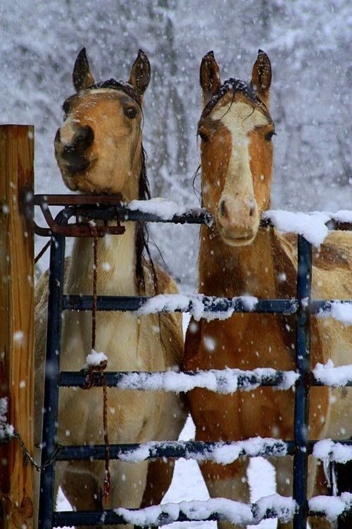 L〰Pretty Dunn horse and paint horse standing in the snow behind a snow covered fence. Looks like they are waiting for dinner. Beautiful snow covered trees in the background.