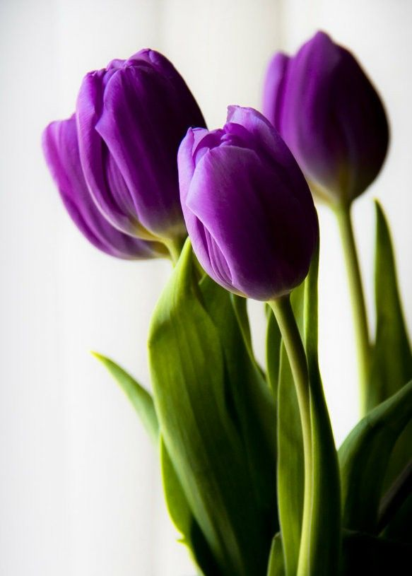 Tulipanes morados. Stel♥