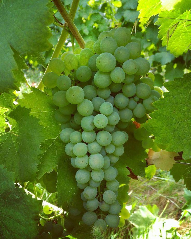 Este año se prevé que la recogida de la uva comenzará antes de lo habitual... #díasdesol #vendimia #uvas #racimosdeuvas #viticultores #orgullosos #embobados #uvasverdes #treixadura #viño #vinospersonales #vinoblanco #ribeiro http://misstagram.com/ipost/1569570362964855506/?code=BXIO-3egErS