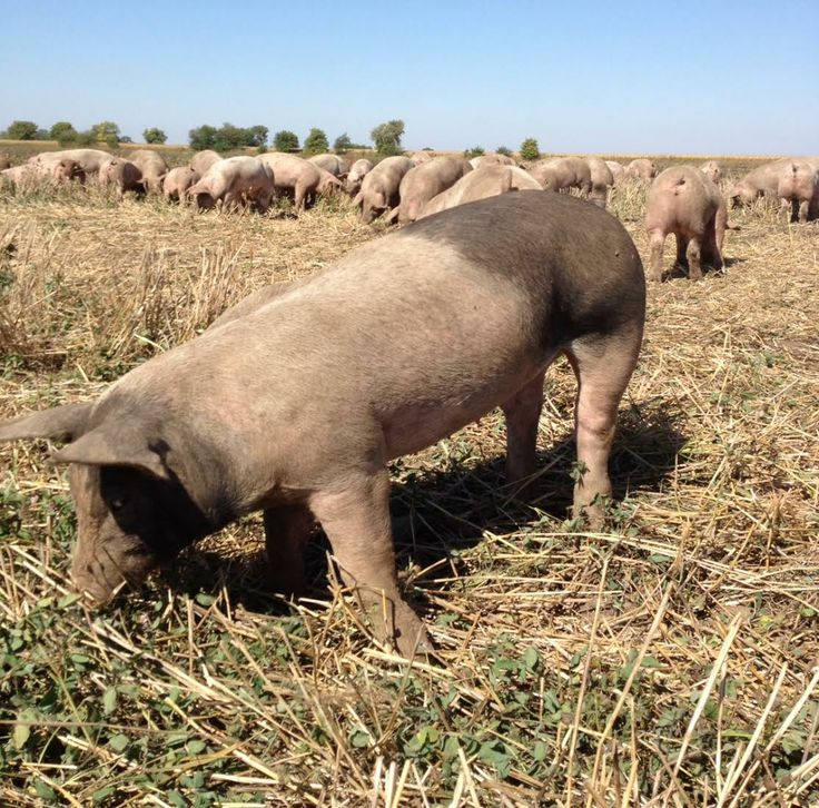 One of our pasture raised, non-GMO fed hogs enjoying some fresh clover and alfalfa in the summer! #pastureraised #nonGMO #chemicalfree #antibioticfree #antibioticfree #sustainablefarming #healthypigs #pork