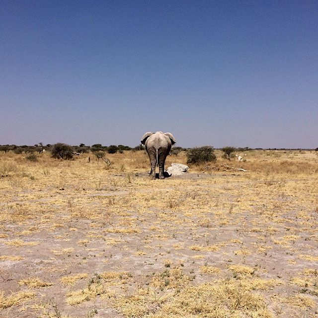 Bull elephant in the hot afternoon sun in Nxai Pan, Botswana.