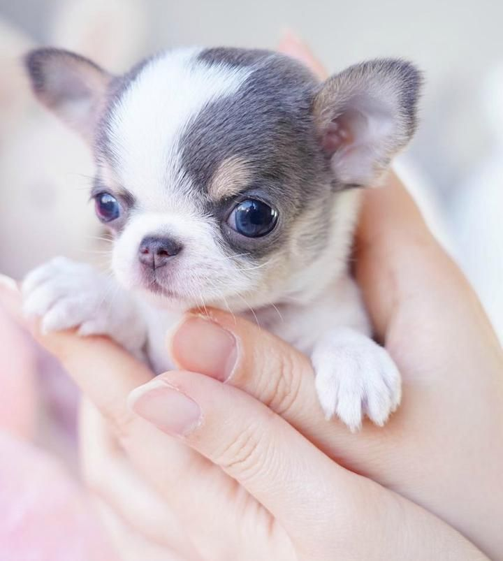 Boutique Teacup Puppies Store Teacup Puppies Teacup Puppies For Sale Teacup Chihuahua Puppies