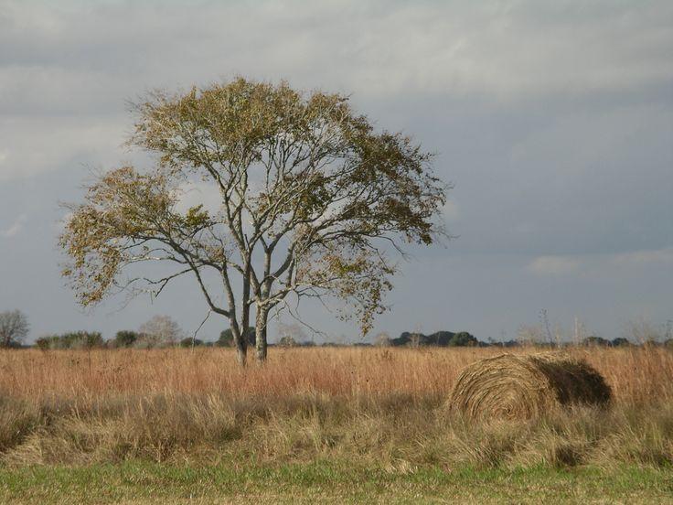 Hay bale and American Elm on Nash Prairie