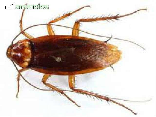 . Control de plagas, DDD.desinfección, desratización, desinsectación Empresa registrada en el departament de salut. CERTIFICADOS OFICIALES. eliminacion de cucarachas, hormigas, ratas, chinches, mosquitos, microrganismos. tratamientos de la madera, carcoma,
