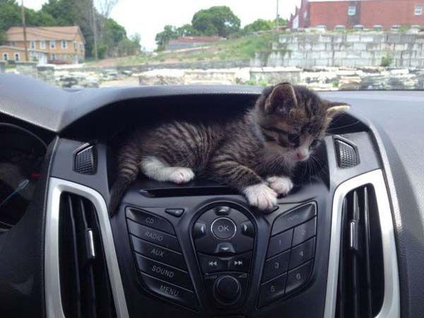 un pui de pisica foarte dragalas sta in bordul unei masini