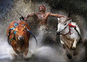 """Joy at the End of the Run"" by Wei Seng Chen My new favorite photograph. I love how the bright-colored bulls contrast with the dark background."