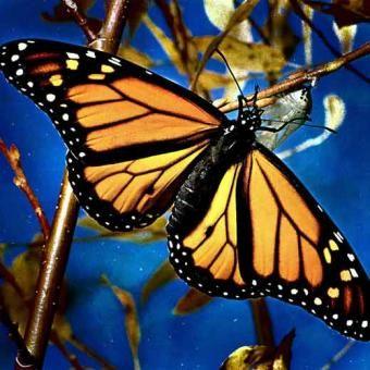 Información sobre la mariposa