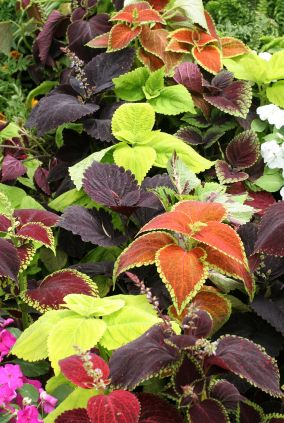 Coleus has remained a popular plant ever since it rose to favor during the Victorian age. The leaves of this inexpensive and versatile plant come in a bewildering array of colors, patterns, shapes, and sizes.