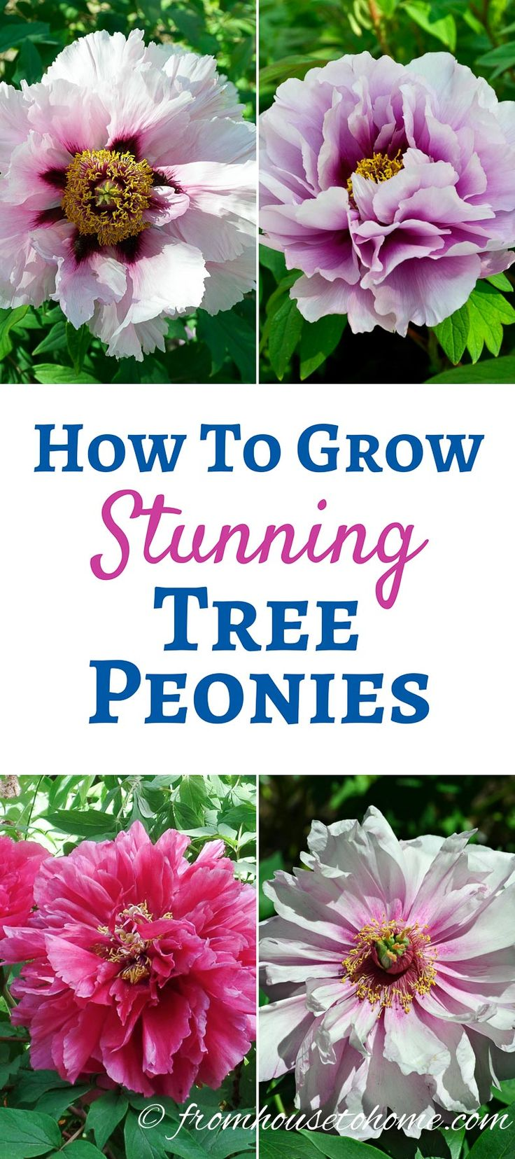 How To Grow Tree Peonies That Will Produce Huge Stunning Flowers | These tips on how to care for tree peonies really help to make sure the plants are healthy and add their beautiful blooms to the garden.