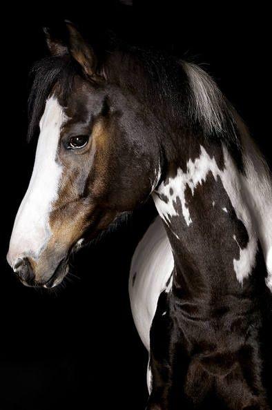 Paint horse .