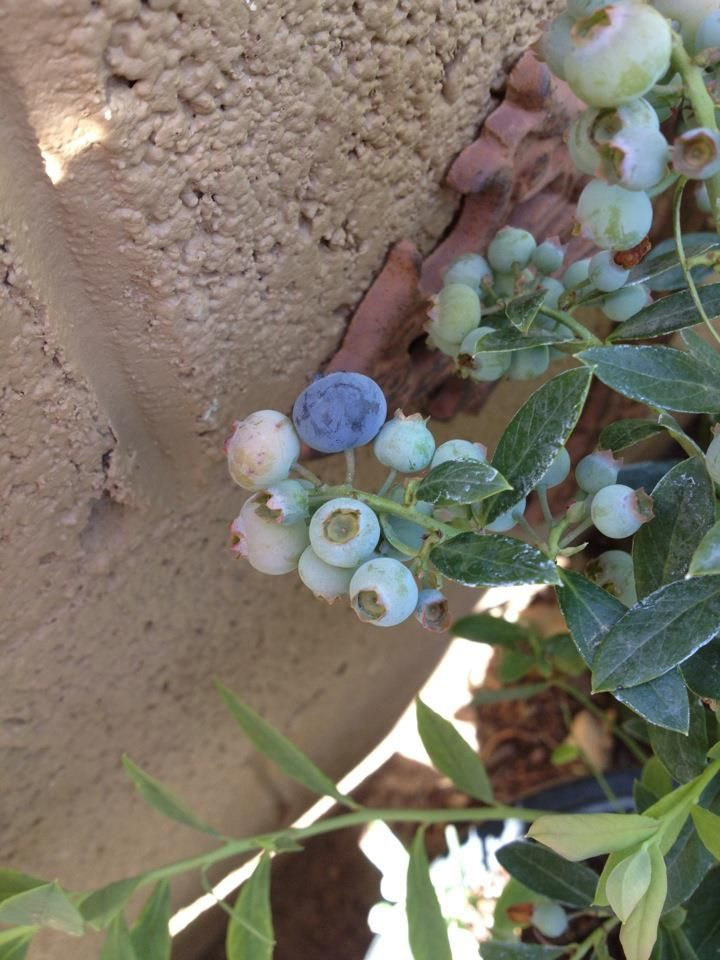 Growing Blueberries in the Desert Garden | Cultivating Dust