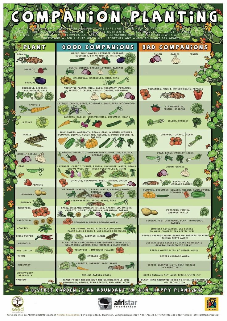 Ultimate Beginner Guide to Companion Planting plus companion planting infographic by Life Hack