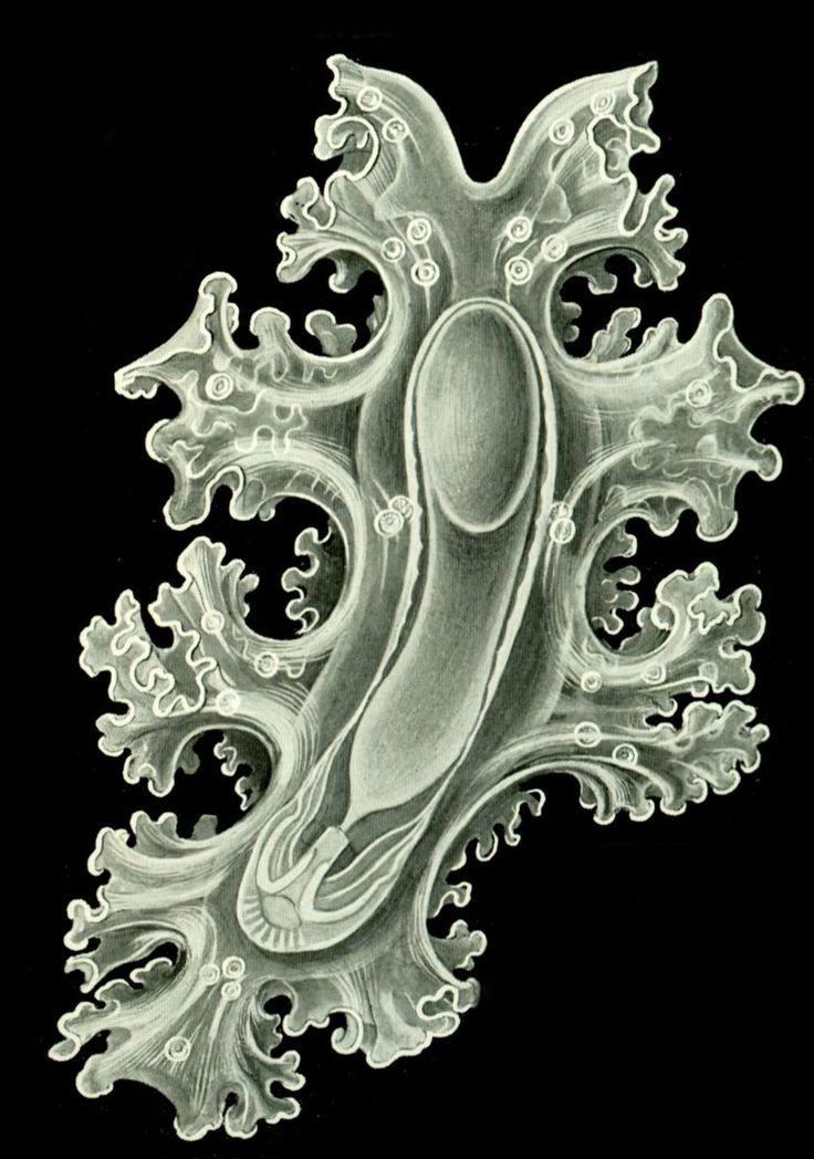 File:Haeckel Amphoridea-12.jpg