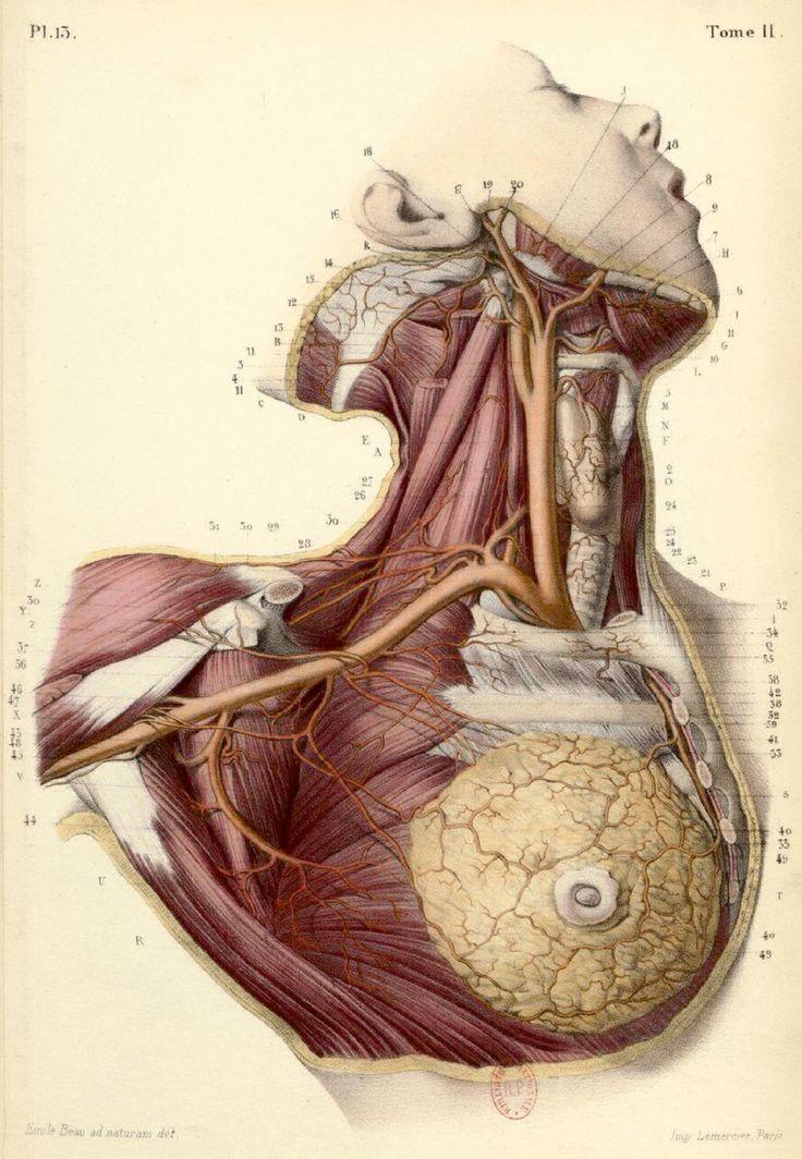 BONAMY, Constantin (b.1812), Paul BROCA (1824-1880 https://www.pinterest.com/pin/287386019946528537/), and Émile BEAU (b.1810). Atlas d'Anatomie Descriptive du Corps Humain, Paris, [1844-46]. Tome II. Pl. 13.