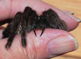 Tarantula Bites | Spid...