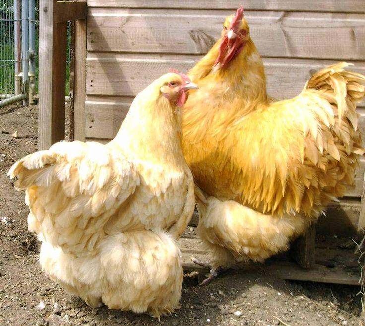 Buff Cochin Bantam Chickens