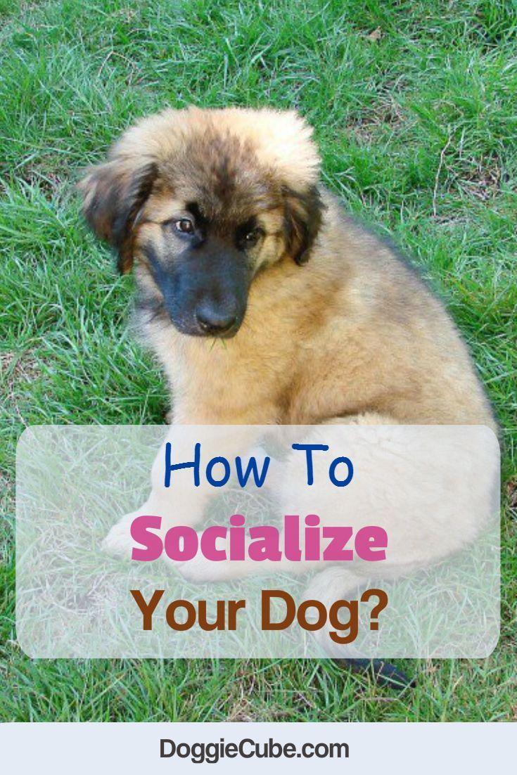 How To Socialize Your Dog Socializing Dogs Dog Care Dog Training