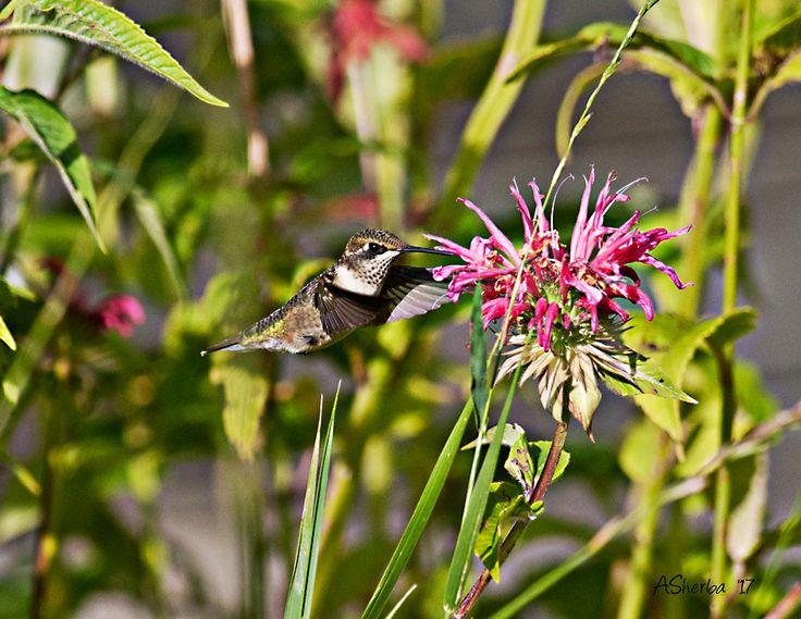Hummingbird enjoying my Bee Balm