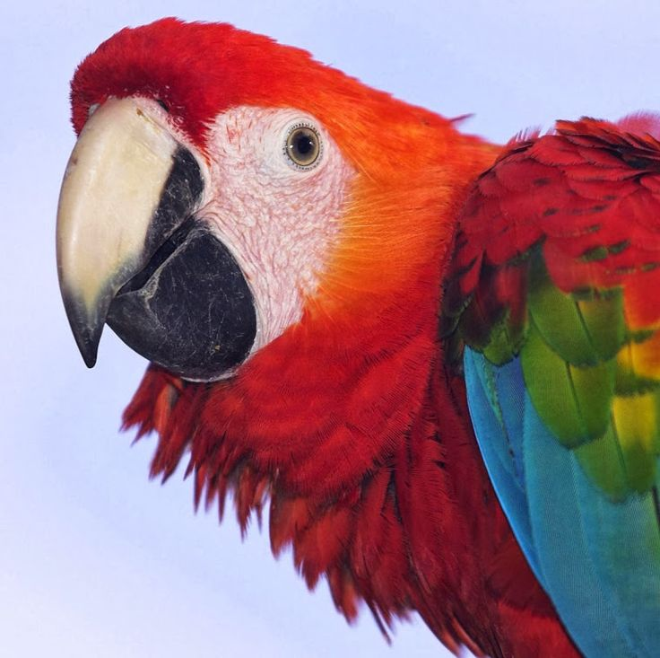 91 Best Scarlet Macaw Images On Pinterest