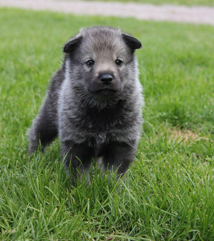 A pup of the swedish Jämthund. They look like tiny bears.