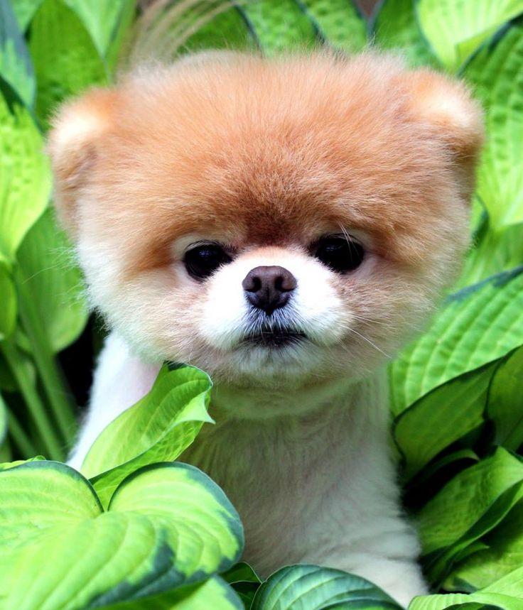 Cute Pomeranian Puppies Wallpaper Hondenrassen Google Zoeken Honde Boo The Cutest Dog