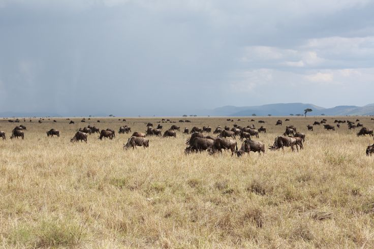 https://musicbirdblog.files.wordpress.com/2013/12/2013_11_25-wildebeest-migration-serengeti-112a8794.jpg