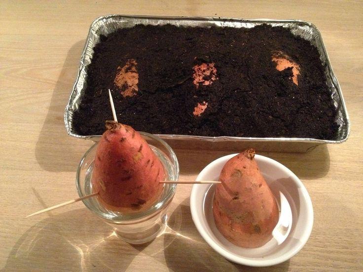 Optimist haven: Forspiring af sød kartoffel