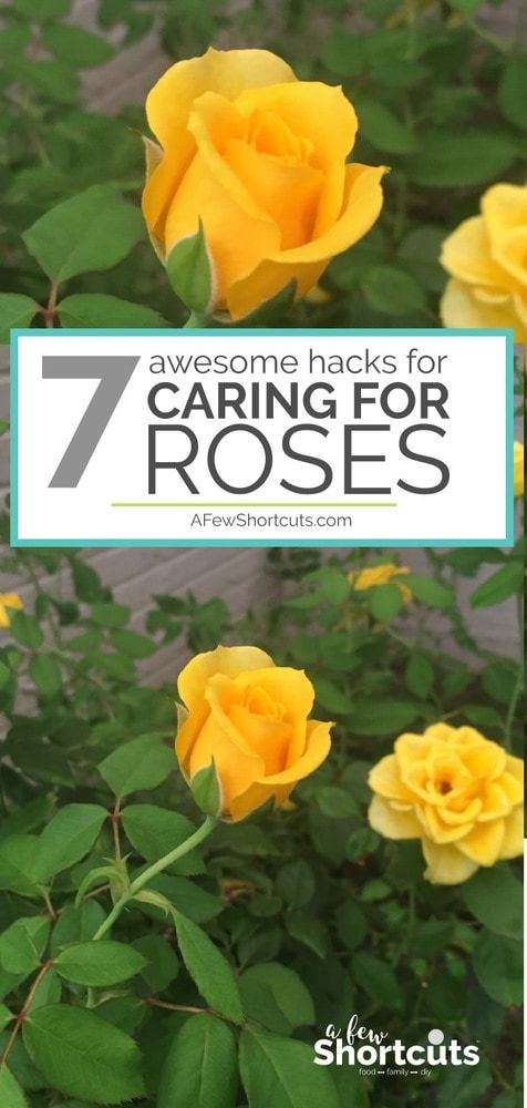 Love Roses, but don't feel like your thumb is green enough? Check out these 7 Awesome Hacks for Caring for Roses so you end up with a beautiful garden! #gardening #roses #tips via @afewshortcuts