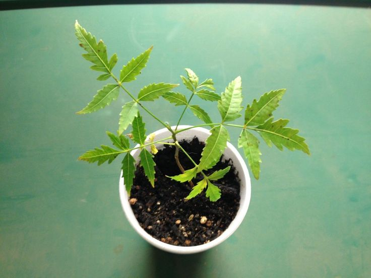 Azadirachta Indica (Neem) Seed