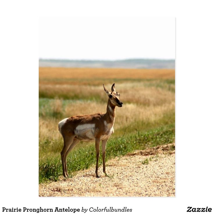 Prairie Pronghorn Antelope